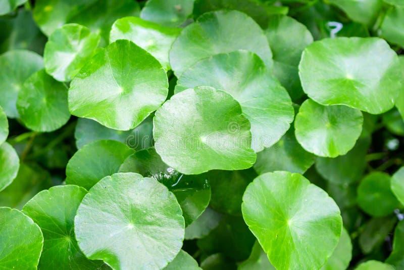 La medicina di erbe lascia il fondo della natura di Centella asiatica fotografia stock libera da diritti