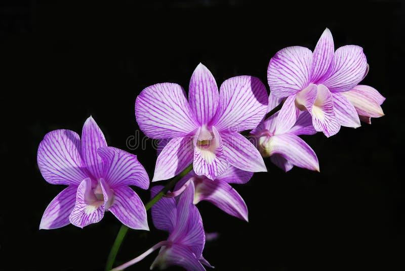 La mejor orquídea violeta imagen de archivo libre de regalías