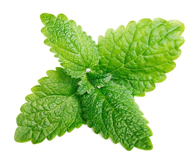 La menta cruda fresca o el bálsamo de limón verde se va (los officinalis de Melissa) en blanco fotos de archivo libres de regalías