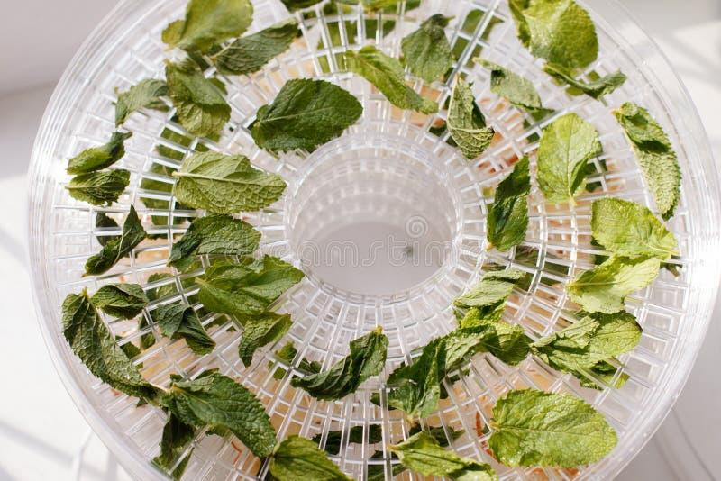 La menthe fraîche est plateau blanc sec de déshydrateur de nourriture sur la table Dessiccateur électrique, concept végétarien ea photos stock