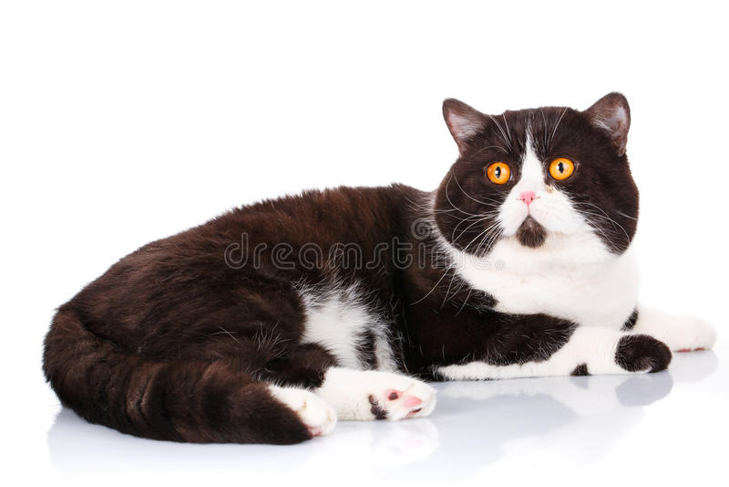 La mentira recta escocesa del gato blanco y negro grande y está mirando adelante en blanco foto de archivo