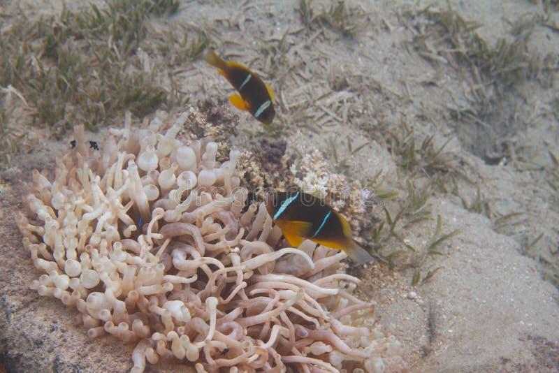La Mer Rouge Anemonefish dans l'anémone de Bulle-astuce images libres de droits