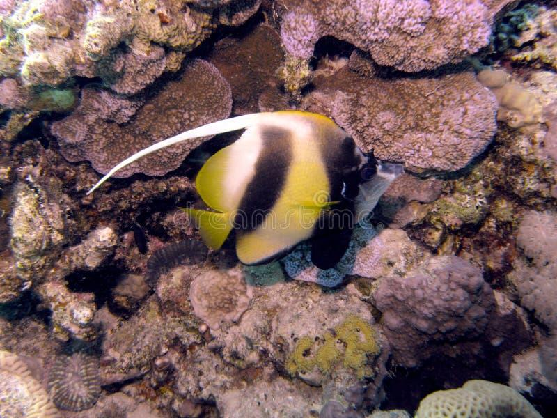 La Mer Rouge Bannerfish images stock