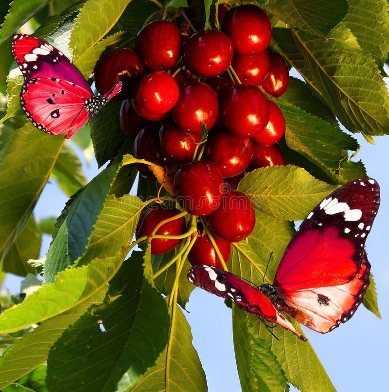 La merise rouge se développe sur l'arbre Moisson le jour ensoleillé images libres de droits
