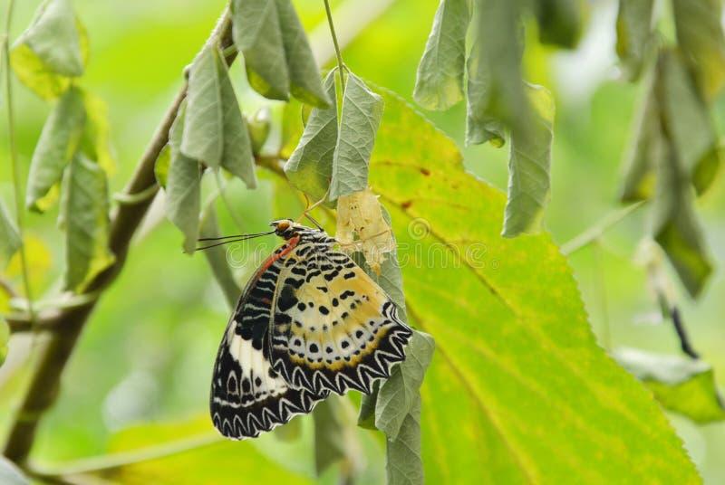 La metamorfosi della farfalla dal bozzolo e prepara alla volata sul ramo in giardino fotografia stock