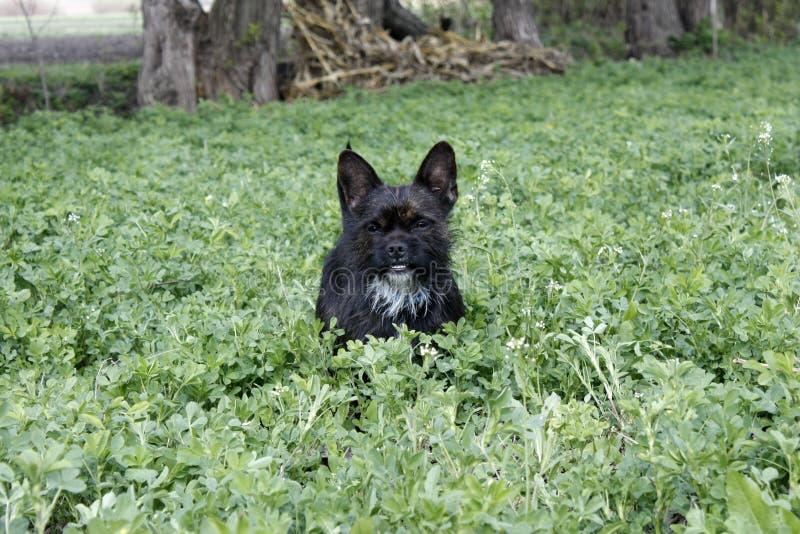 La mezcla del dogo de Yorkshire Terrier juega en alta hierba con el tr?bol fotos de archivo
