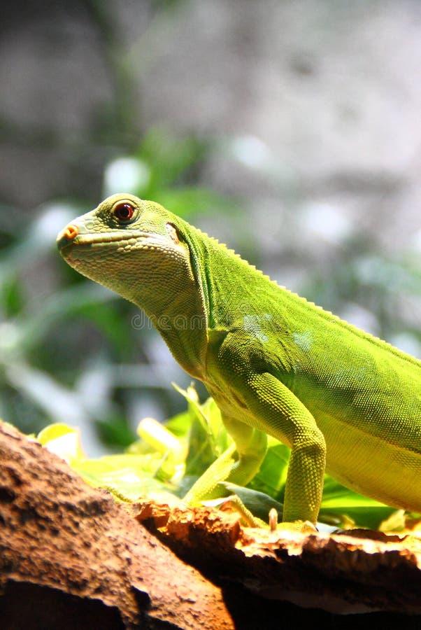 La mezza iguana del corpo sta sulla roccia fotografie stock