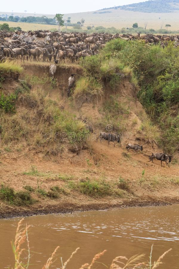 La migración de manadas grandes del ñu en Mara River África imágenes de archivo libres de regalías