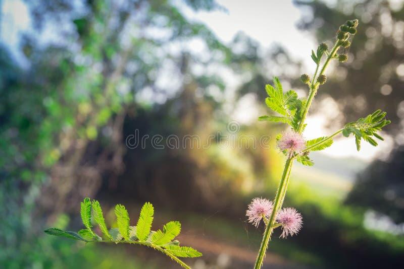 La mimosa rosa fiorisce in un campo della foresta verde immagini stock libere da diritti