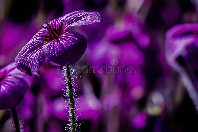 La miniatura scintilla su un fiore porpora fotografie stock libere da diritti