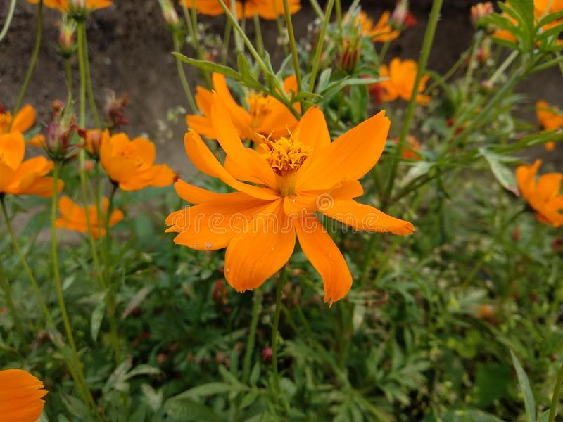 La mirada asombrosa de la flor anaranjada imagen de archivo