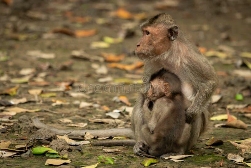 La mirada de cola larga del macaque de la madre y del bebé se fue fotografía de archivo libre de regalías