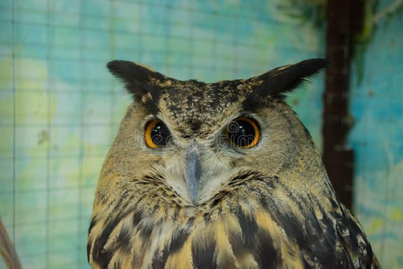 La mirada de perforación de un búho de águila El búho se sienta en una sobreexposición bloqueada del parque zoológico de la jaula imagen de archivo