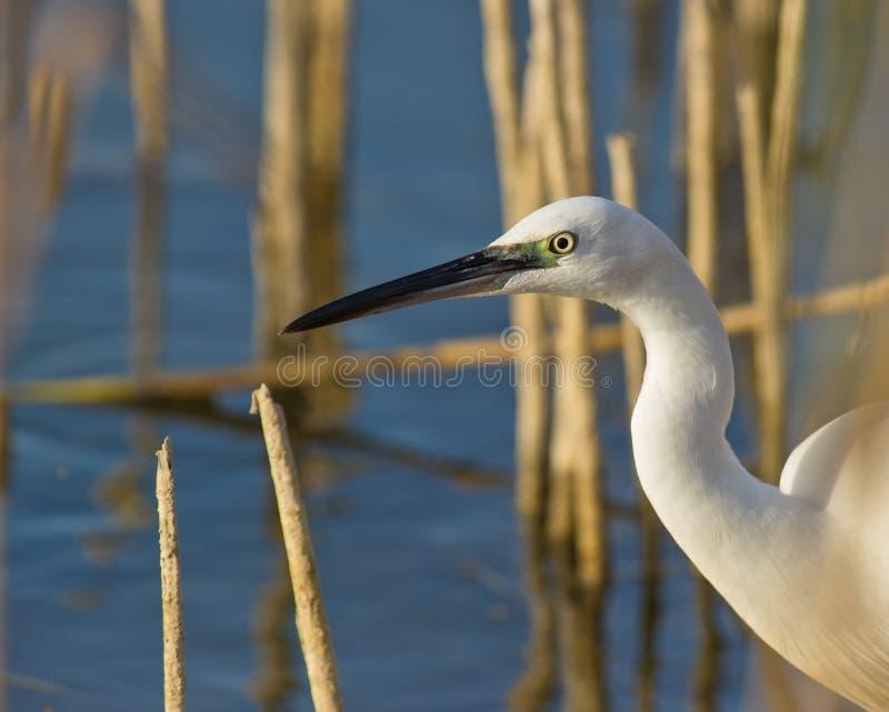 La mirada de un pequeño Egret imágenes de archivo libres de regalías