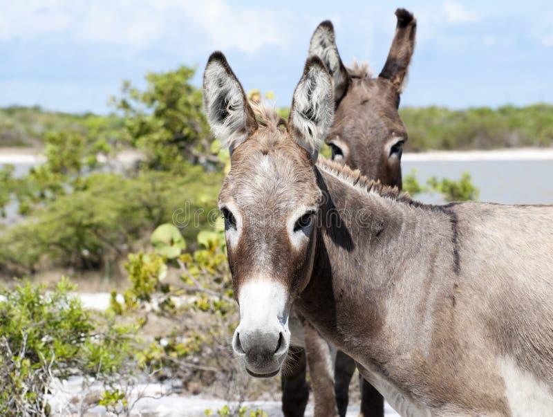 La mirada del burro foto de archivo libre de regalías