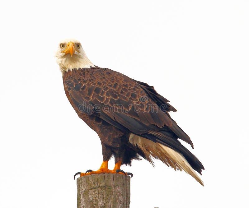 La mirada fija de perforación y que santifica de Eagle calvo imagenes de archivo