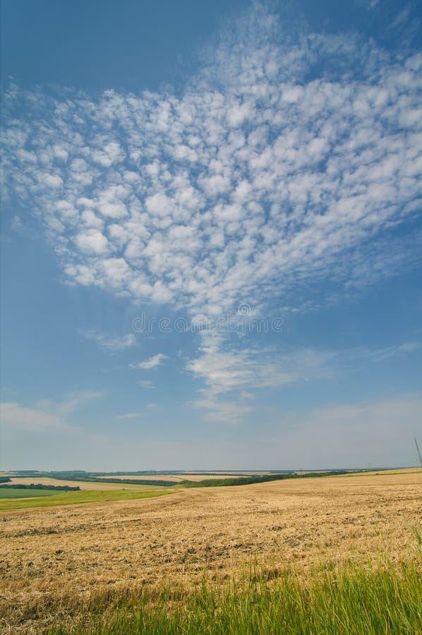 La mirada interesante se nubla bajo la forma de paloma en el cielo azul en un campo de trigo en el verano imagenes de archivo