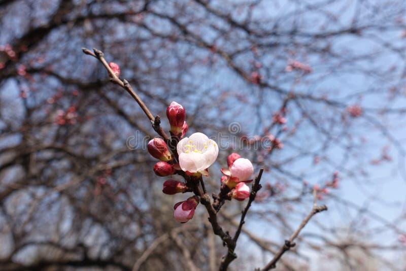 La mitad abrió la flor del albaricoque contra el cielo azul imágenes de archivo libres de regalías