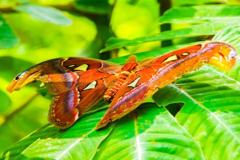 La mite géante de papillon d'atlas, atlas d'Attacus images libres de droits