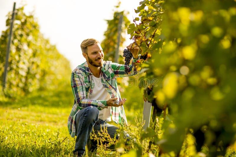 La moissonneuse coupant le groupe de raisins dans le vignoble rame image libre de droits