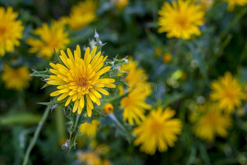 La molla di giallo fiorisce nell'erba verde immagini stock libere da diritti