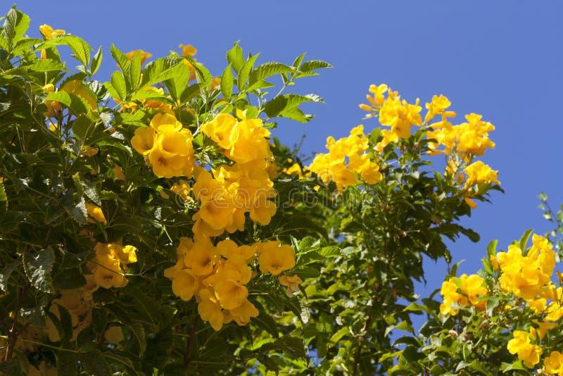 La molla gialla fiorisce sull'albero sopra la foto del cielo blu immagini stock