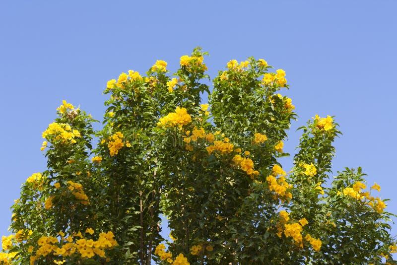 La molla gialla fiorisce sull'albero sopra la foto del cielo blu fotografia stock libera da diritti