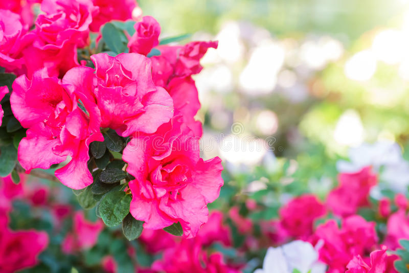 La molla porpora fiorisce l'azalea fotografia stock
