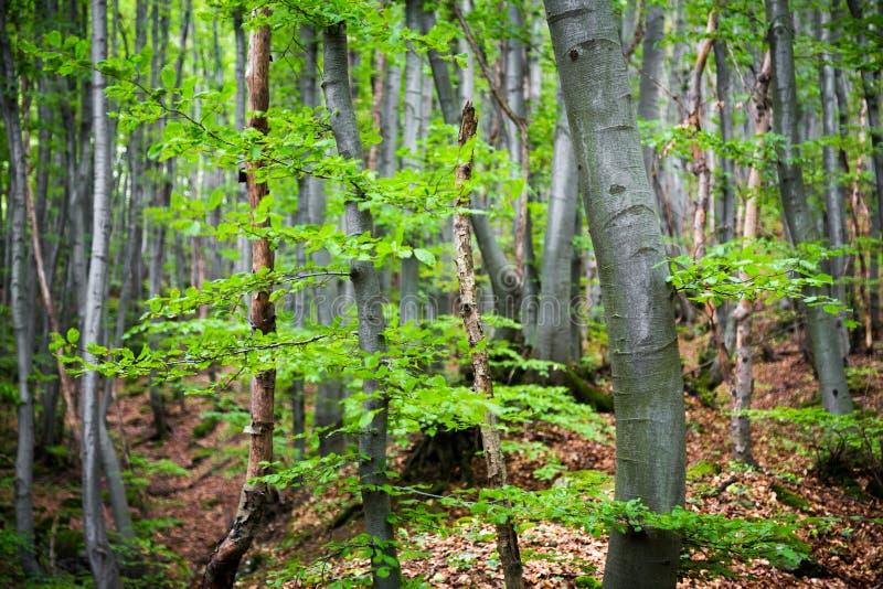 La molla verde fresca lascia la crescita in una foresta fotografia stock