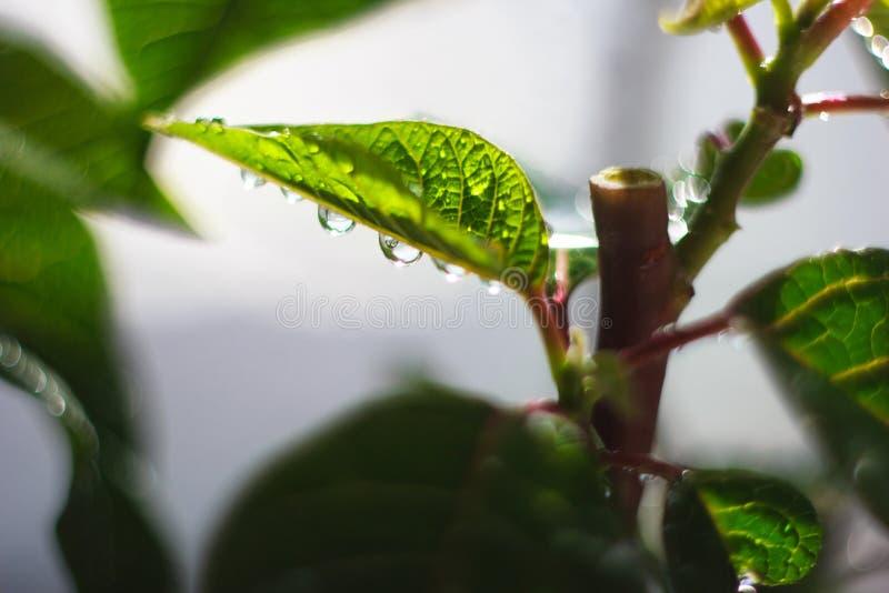 La molla verde va vicino su con le grandi gocce di pioggia, il macro paesaggio immagini stock libere da diritti
