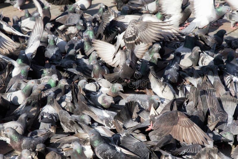 La moltitudine del piccione in città immagini stock libere da diritti