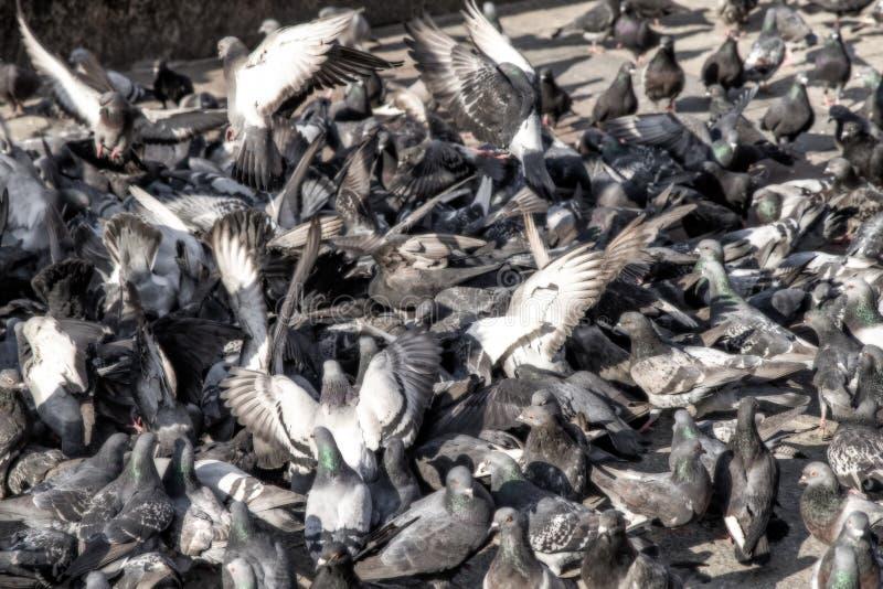 La moltitudine del piccione in città fotografia stock libera da diritti