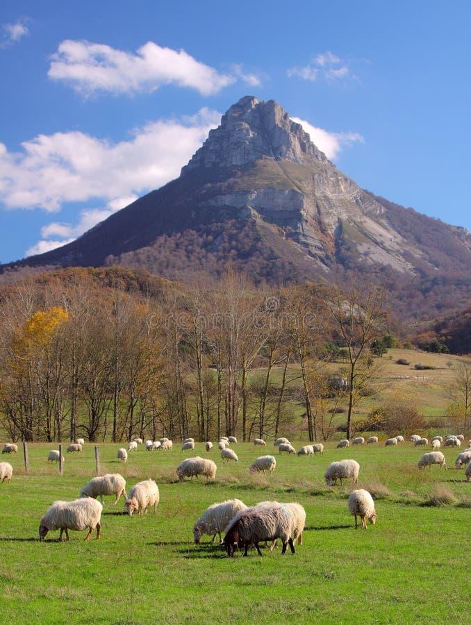 La moltitudine del piede di pecore che pascono a Navarre immagini stock