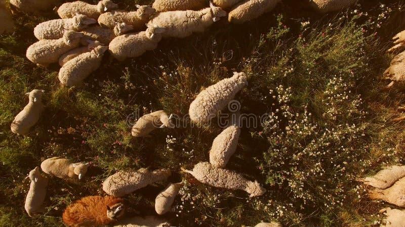 La moltitudine delle pecore sta muovendosi immagini stock libere da diritti