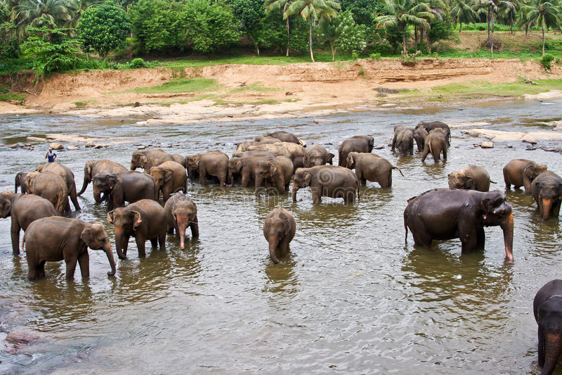 La moltitudine di elefants sta bagnando nel fiume immagine stock libera da diritti