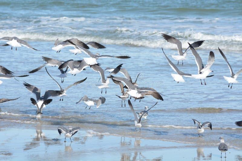 La moltitudine di gabbiani prende all'aria dal loro punto di riposo dello stagno di marea fotografie stock libere da diritti