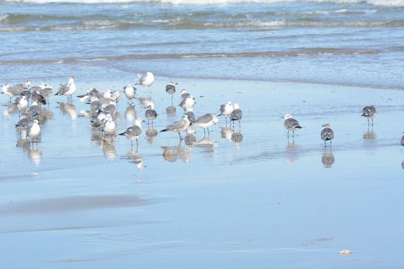 La moltitudine di gabbiani riposa su un litorale della spiaggia dell'isola immagine stock libera da diritti