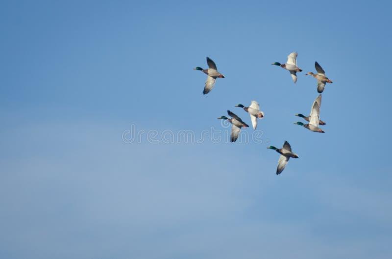La moltitudine di germano reale Ducks il volo in cielo blu fotografia stock