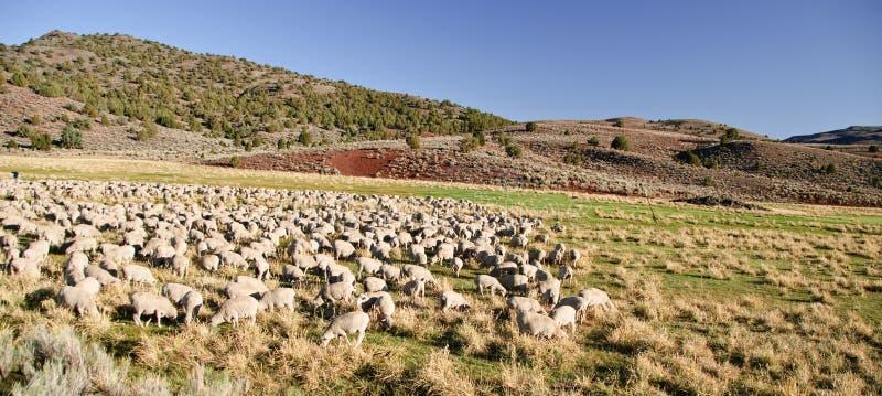 La moltitudine di pecore nel paesaggio aperto coltiva il paesaggio fotografie stock