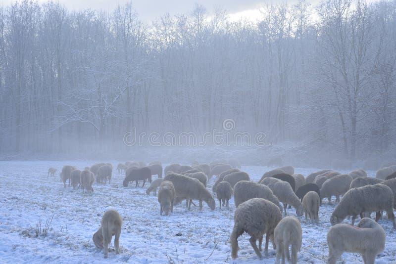 La moltitudine di pecore pasce su un campo innevato immagine stock