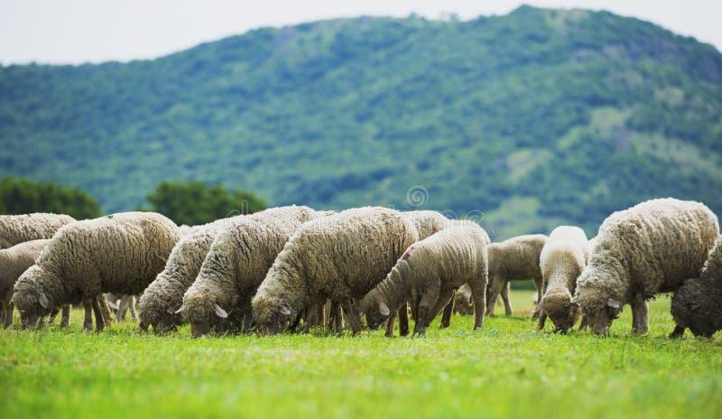 La moltitudine di pecore pasce su un campo verde fotografia stock libera da diritti