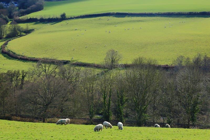 La moltitudine di pecore pasce su un terreno coltivabile fotografie stock libere da diritti