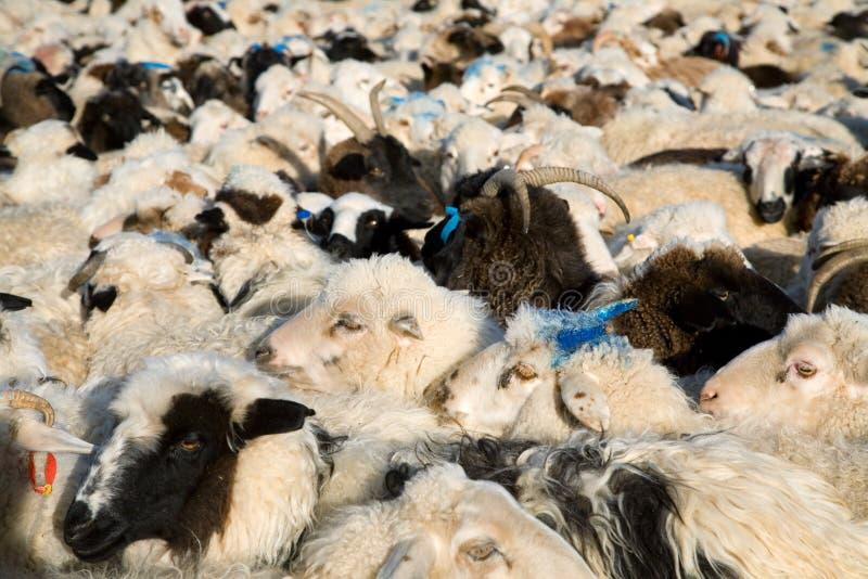 La moltitudine di pecore si è mescolata con le capre fotografie stock