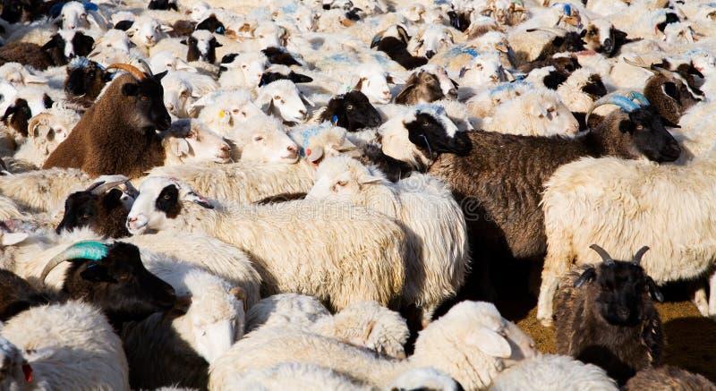 La moltitudine di pecore si è mescolata con le capre immagini stock libere da diritti