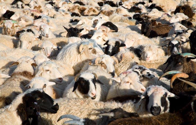 La moltitudine di pecore si è mescolata con le capre immagine stock