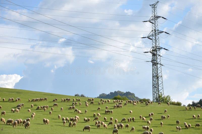 La moltitudine di pecore si alimenta l'erba foraggera sul prato verde accanto alla colonna elettrica immagine stock libera da diritti