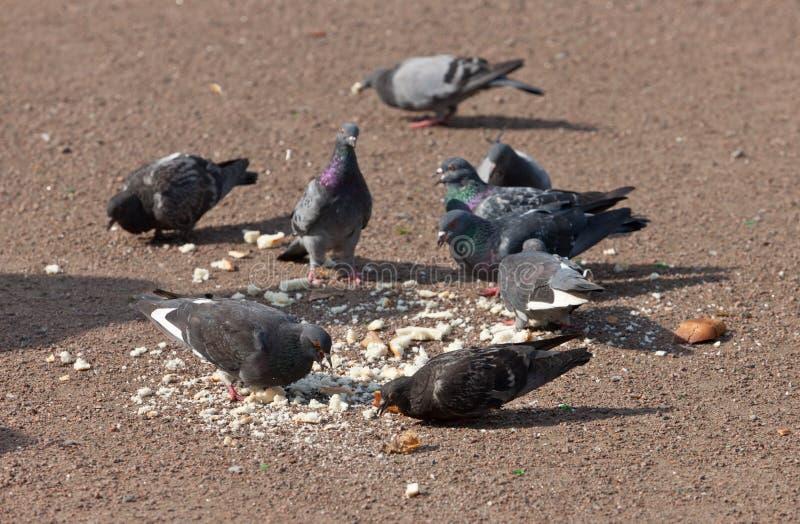 La moltitudine di piccioni immagini stock libere da diritti