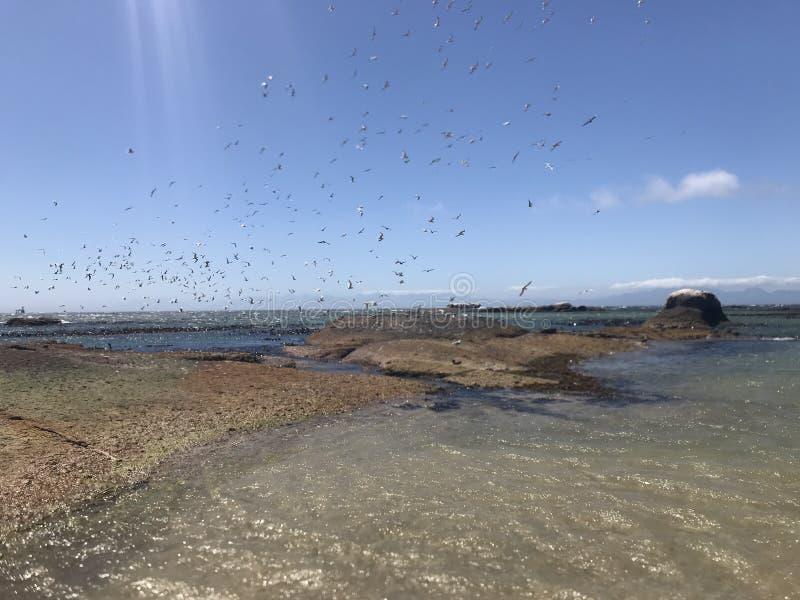 La moltitudine di uccelli marini che decollano da Boulder tira l'intestazione in secco verso la baia falsa Sudafrica fotografia stock libera da diritti