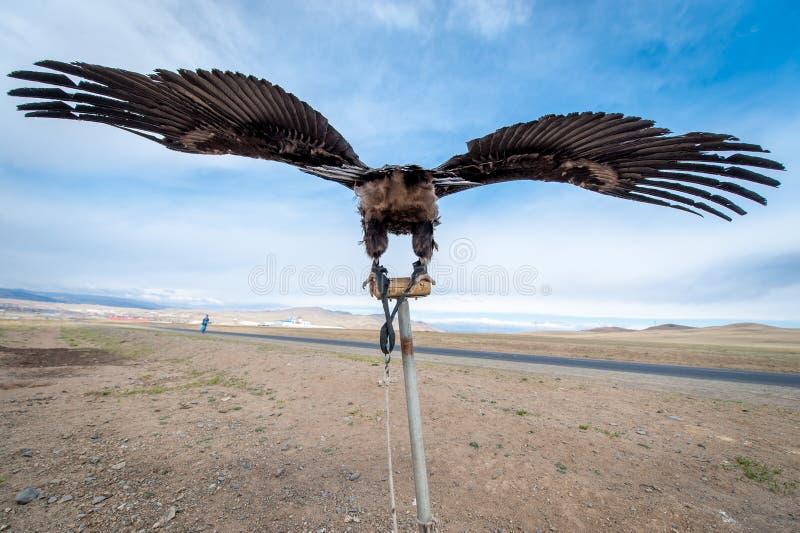La MONGOLIE - 17 mai 2015 : Aigle particulièrement qualifié pour chasser dans le désert mongol près d'Ulaan-Baator photographie stock libre de droits