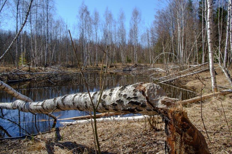 La morsure de castor marque sur l'arbre de bouleau photo stock